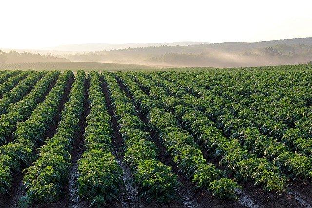 bramborové pole