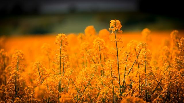 květy řepky